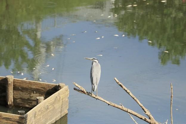 池の魚を眺めるアオちゃん~♪