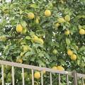 Photos: 秋の光景~レモン~♪