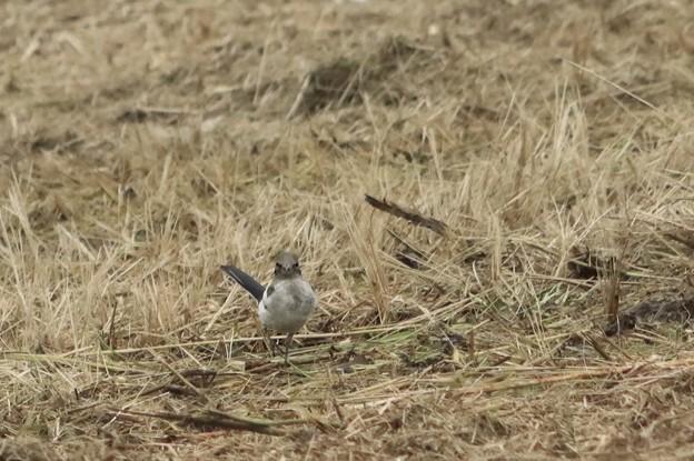 セグロセキレイの幼鳥1~♪