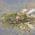 Photos: カイツブリの巣~♪