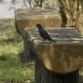 今日の鳥撮り~イソヒヨドリ ~♪