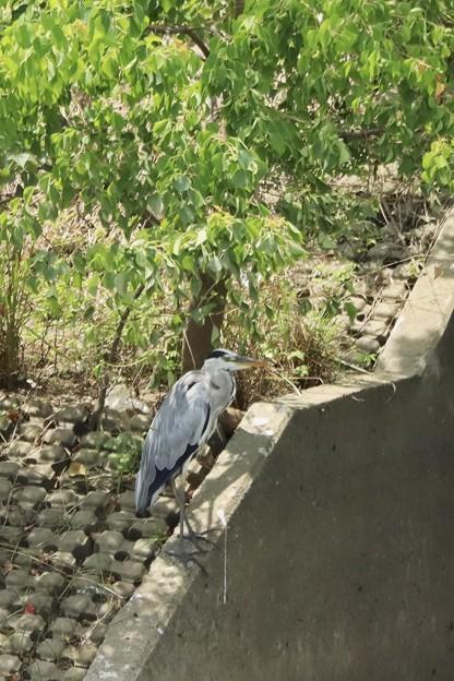 今日の鳥撮り~アオちゃん~♪