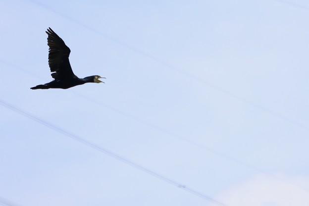 今日の鳥撮り~カワウ~♪