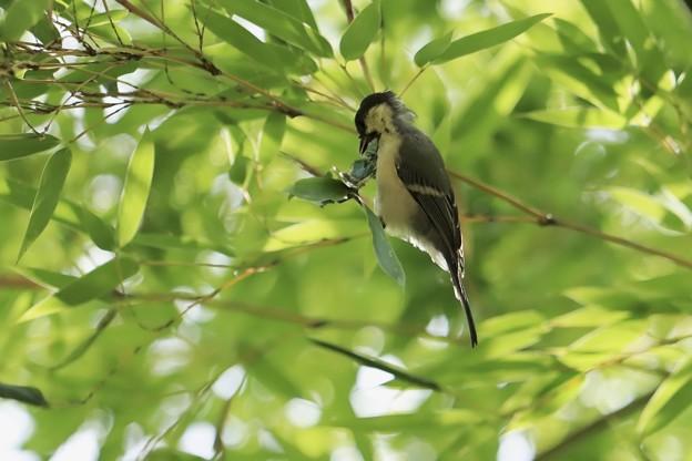 今日の鳥撮り~シジュウカラ~♪