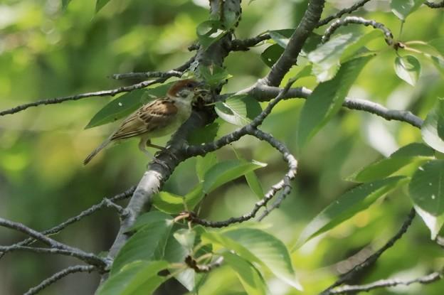 今日の鳥撮り~スズメ~♪