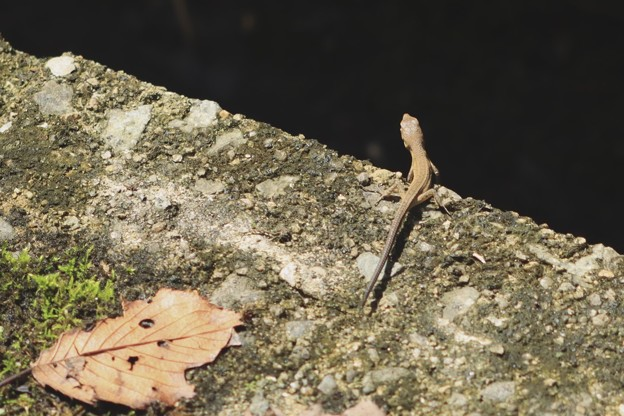 Photos: トカゲ?カナヘビ?