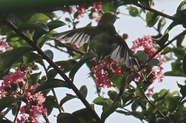 サルスベリの花の中へ~♪