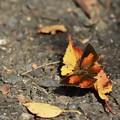 秋色なウラギンさん~♪
