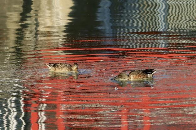 赤い池でハシビロさん~♪