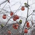 Photos: 柿とメジちゃん~♪