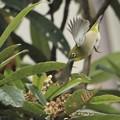 Photos: ビワの花をめがけて~♪