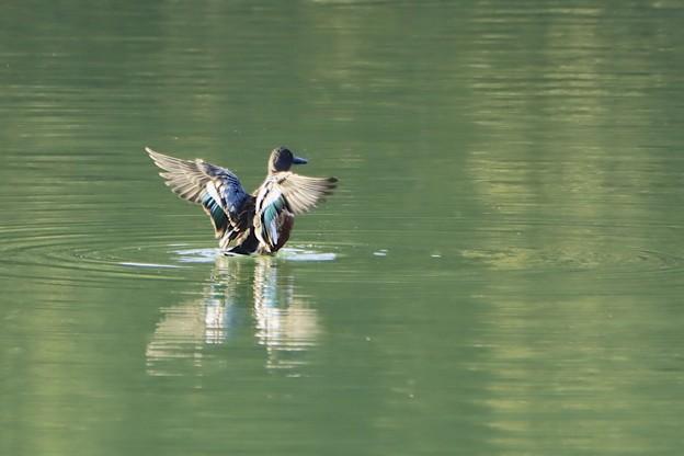 Photos: ハシビロガモの羽1~♪