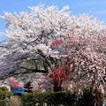 写真: 乱れ咲き
