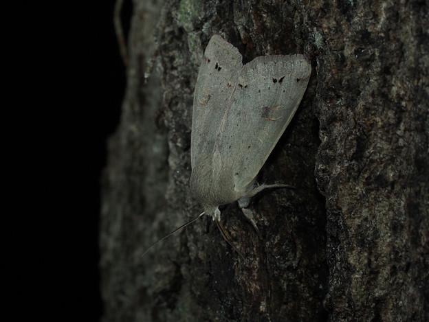 スモモキリガ 200301z_0091