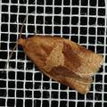 シリグロハマキ_200523z_1626