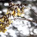 薄氷に枯れ花