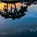 Photos: 反射夕日池にゆったりと桜流れ。(高遠の桜)