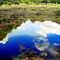 梅雨明け雲に羽衣藻の花-2
