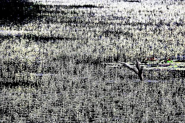 羽衣藻の花-1