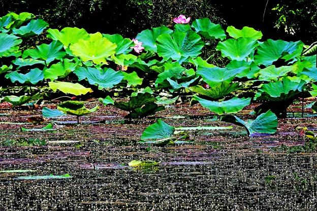 羽衣藻の花-2