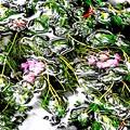 醒ヶ井の梅花藻-1