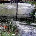 醒ヶ井の梅花藻-2