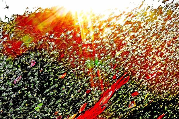 醒ヶ井の梅花藻-3