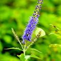 伊吹山の花めぐり-4
