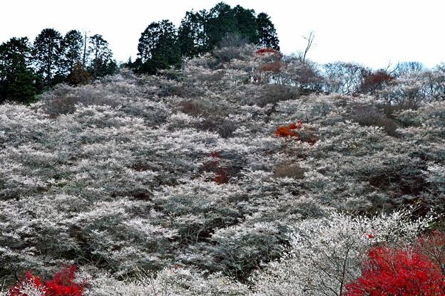 四季桜の12月-1
