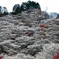 Photos: 四季桜の12月-1