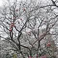 Photos: 四季桜の12月-2