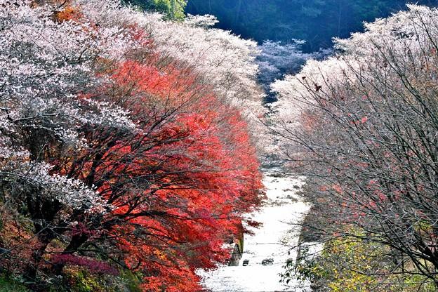 四季桜の12月-3