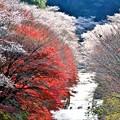 Photos: 四季桜の12月-3