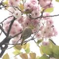 写真: 桜メジロ