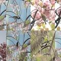 写真: 桜 目白 四十雀 雀