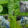 写真: ナミテントウの幼虫観察日記2