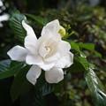 写真: クチナシの花の花の香りが~