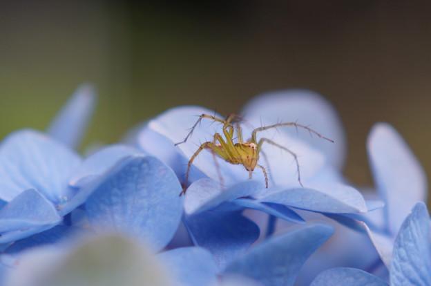 Photos: 紫陽花に蜘蛛が~!
