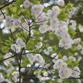 もう八重桜