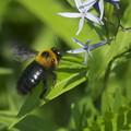 写真: 丁子草にクマバチ