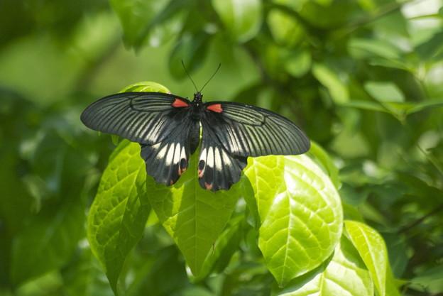 黒いアゲハ