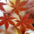 Photos: 紅葉よ~