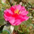 写真: 山茶花の宿~