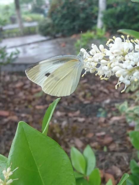 白い花に紋白蝶