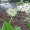 Photos: 白い花に紋白蝶