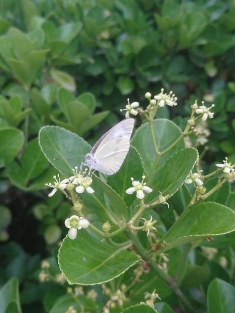 白い小花に紋白蝶