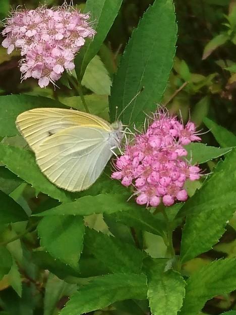 しもつけに紋白蝶