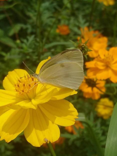 コスモスに紋白蝶
