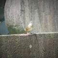 Photos: ツメナガセキレイの幼鳥