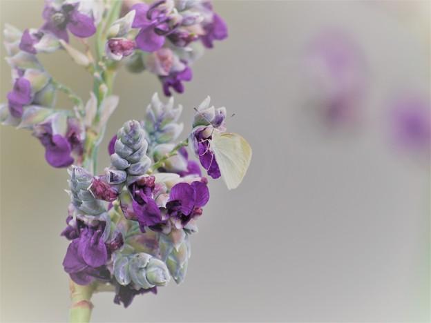 紫の花にモンちゃん